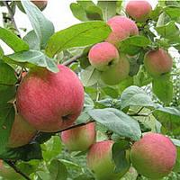 Саженцы яблони сорт Аскольда