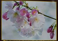 Фотообои, Вишня 16 листов, размер 278х194 см