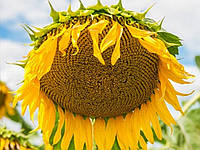 Семена подсолнечника Тунка (протравлено Круизер)