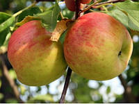 Саженцы яблони сорт Топаз