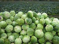 Технология выращивания капусты белокочанной от компании Syngenta.