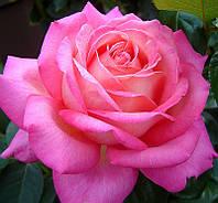 Роза Чикаго Пис, фото 1