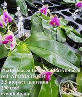 Подростки орхидеи, возраст цветения. Сорт violacea v.indigo blue Ⅹviolacea v.indigo red АРОМАТНЫЙ