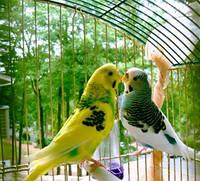 Волнистые попугаи. Особенности содержания, принципы ухода, основы питания.