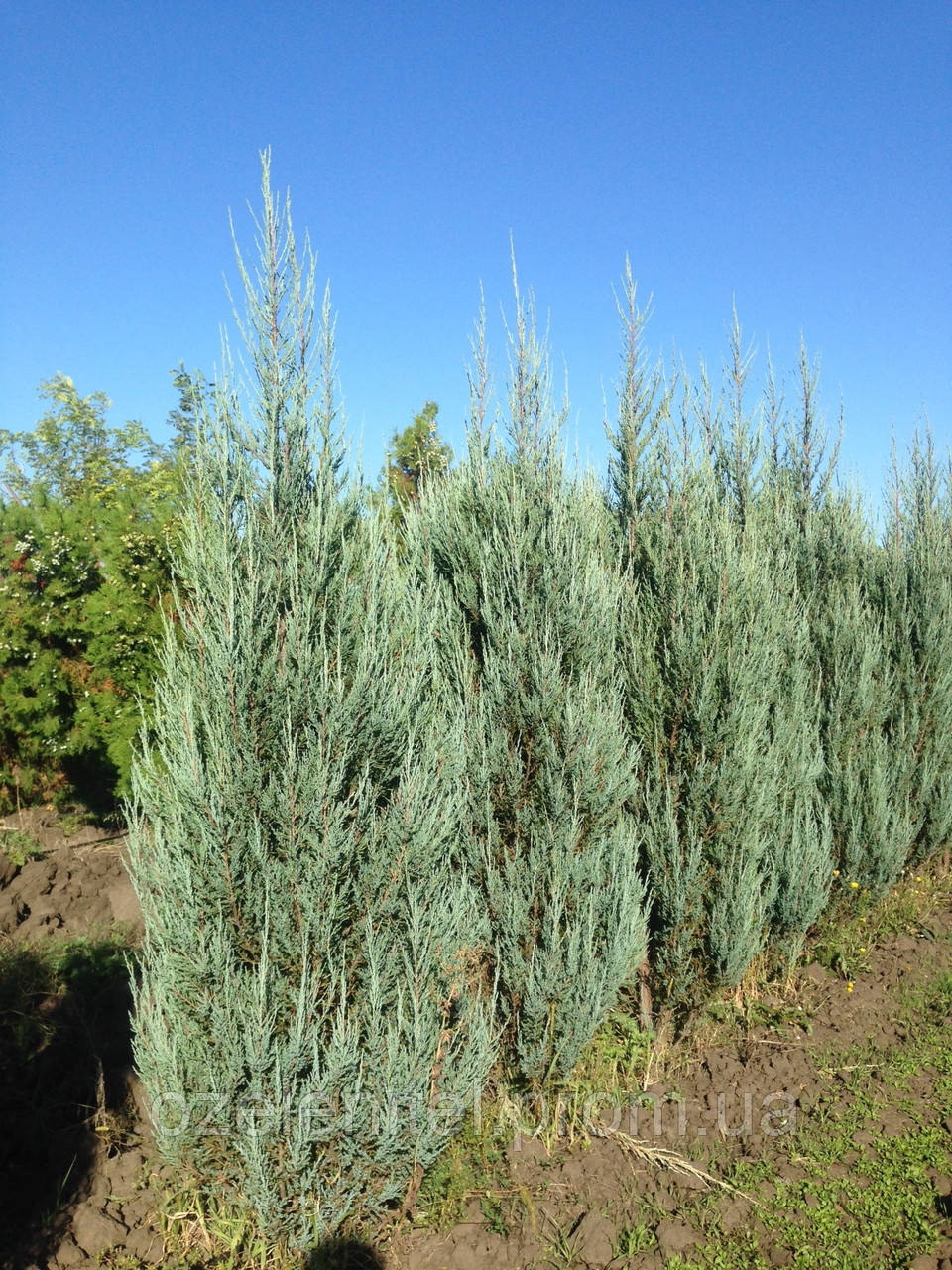 Можжевельник скальный 'Блю ароу' / Juniperus scopulorum 'Blue Arrow' / Ялівець скельний 'Блю ароу''