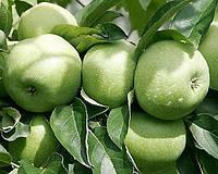 Ренет Симиренко, Renet Simirenko саджанці яблуні на підщепі М 9