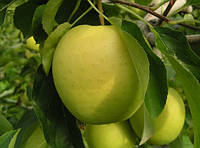 Голден Рейнджерс, Golden Reinders саженцы яблони на подвое М 9