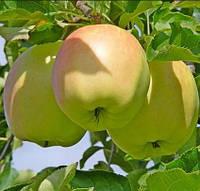 Саженцы яблони сорт Пепинка