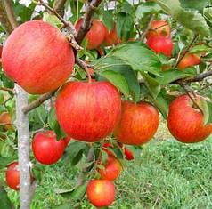 Саженцы яблони сорт Пинова, M106