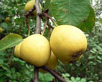 Саженцы груши сорт Лимонка
