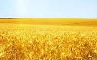 Семена мягкой пшеницы FARREL Канадский озимый трансгенный . Насiння