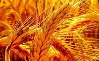 Семена пшеницы  МАКИНО Канадский озимый  трансгенный сорт твердой  элита насiння