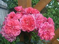 Роза плетистая Розариум Ютензен, фото 1