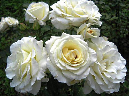 Роза плетистая Шнеевальзер, фото 1