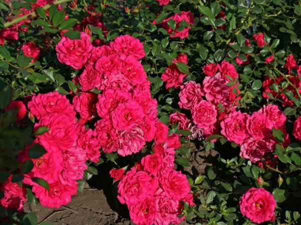 Роза почвопокровная Мирато, фото 1