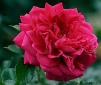Роза плетистая Лагуна , фото 1