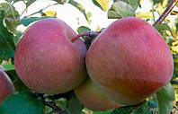 Фуджи Кику 8, Fuji саженцы яблони на подвое ММ 106