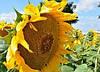 Семена подсолнечника ЕС БЕЛЛА (A-G), Euralis