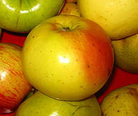 Яблоня Золотой ренет. (54-118) Зимний сорт. (в), фото 1