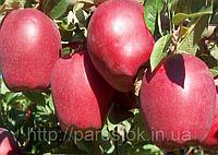Яблоня Старкримсон. (Б7-35) Зимний сорт.