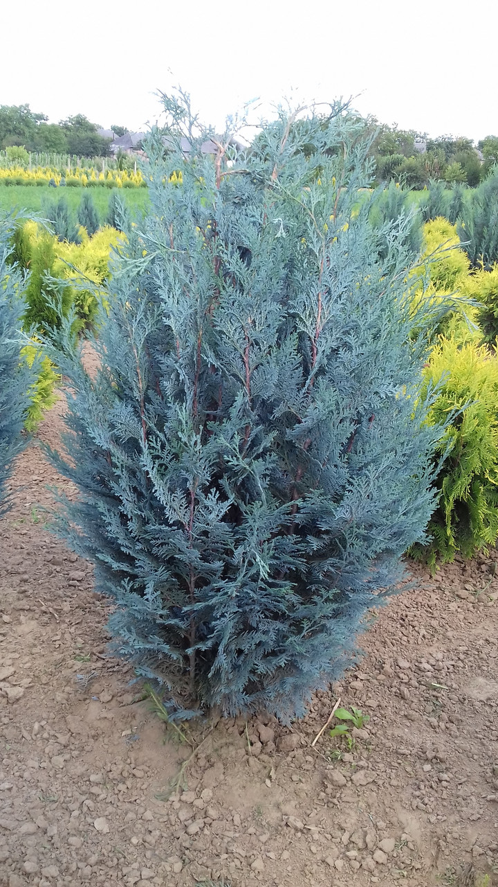 Кипарисовик Лавсона Ван Пелс Блю (Chamaecyparis lawsoniana Van Pelt's Blue) 120 см.