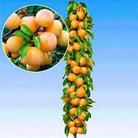 Саженцы сливы колоновидной МИРАБЕЛЬ (двухлетний) средне-позднего, фото 1