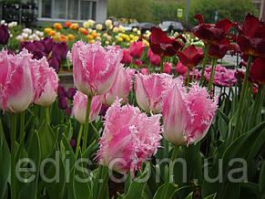 Тюльпан Huis ten Bosch (Хэйс тен Бош) бахромчатый 3 луковицы, фото 3