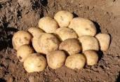 Картофель семенной Сифра