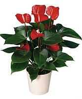 Антуриум Красный 65 см