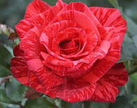 Ред Інтуішн (Red Intuition) саджанці троянди чайно-гібридної червоної Dekoplant