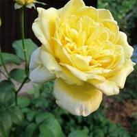 Казіно (Casino) саджанці троянди плетистої жовтої Dekoplant