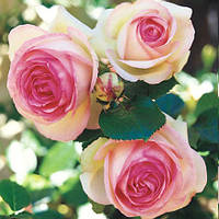 Еден Роуз (Eden Rose) саджанці троянди плетистої білої з каймою Dekoplant
