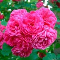 Пінк Мушімара (Pink Mushimara) саджанці троянди плетистої рожевої Dekoplant