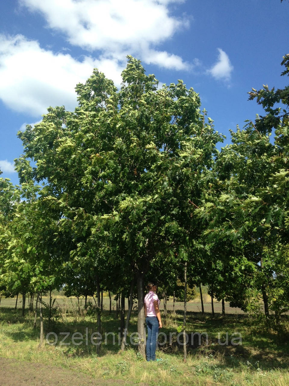 Дуб красный/ Quercus rubra 4,5 - 5,0 м (крупномер)
