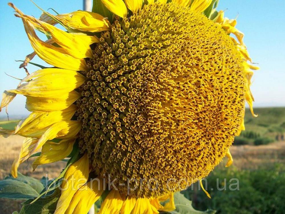 Семена подсолнечника LG 5377
