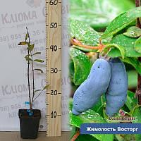 Саженцы жимолости Восторг, контейнер P9