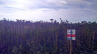 Семена гибрида подсолнечника АС 33101 КЛ устойчив к Евралайтингу новый урожай