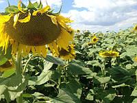 Гибрид подсолнечника АС 34108  высокая урожайность