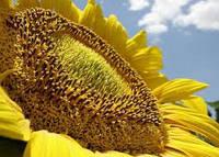 Гибрид подсолнечника АС 33107 высокий потенциал урожая