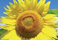 Семена подсолнечника ЛГ 5580 (А-G)
