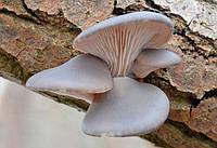 Мицелий Вешенки Морское ушко (Pleurotus abalonus), 120 г