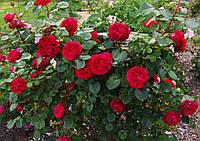 Саженцы роз Травиата. (ввв). Ч/г роза.  , фото 1