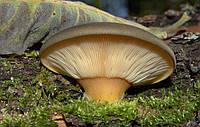 Мицелий Вешенки поздней (Panellus serotinus), 120 г