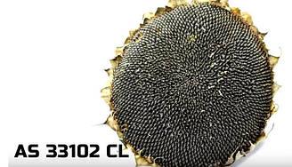 Семена гибрида подсолнечника АС 33102 КЛ устойчивый к Евролайтингу новый урожай