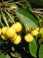 Саженцы черешни сорт Млиевская Желтая