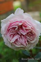 Роза Джардина (Giardina)
