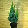 """Кипарисовик Лавсона - Chamaecyparis lawsiniana """"White Spot"""""""