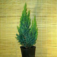 """Кипарисовик Лавсона - Chamaecyparis lawsiniana """"White Spot"""", фото 1"""