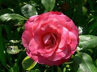 """№ 165. Саженцы роз """"Пат де Велюр"""", фото 1"""