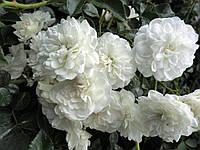 """Саженцы роз """"Свани"""", фото 1"""